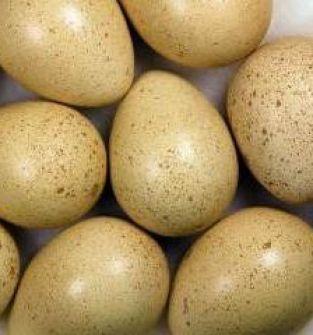 Jaja bażantów : złotych