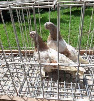 Gołębie Blauwindry (para)