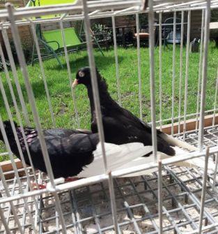 Gołębie wyszwańce koroniate (para)