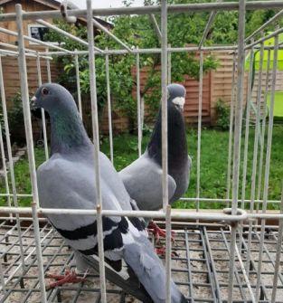 Gołębie (para)