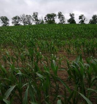 Kukurydza do skoszenia