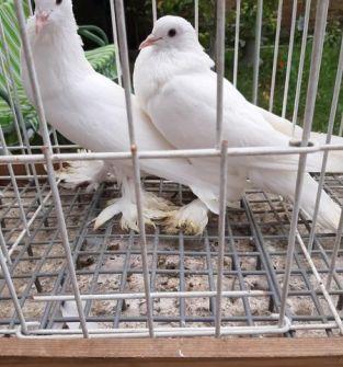 Gołębie Garłacze (para)