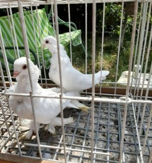 Gołębie Newki (Para)