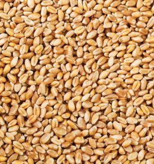 pszenica konsumpcyjna