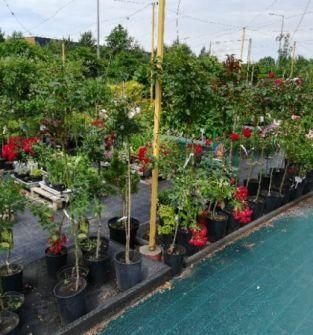Drzewai krzewy  owocowe i ozdobne , kwiaty