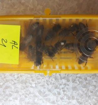 Pszczoły Matki