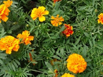 Aksamitka zwykła (Ordinarius Tagetes) - kwiaty z gospodarstwa ogrodniczego