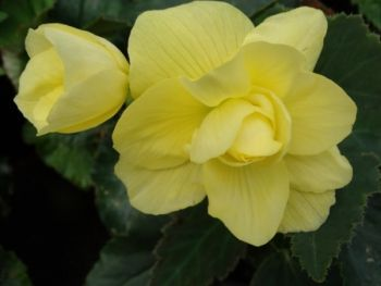 Begonia bulwiasta (Begonia tuberhybrida)