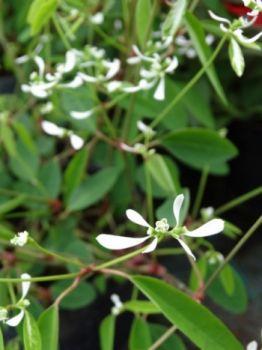 Euphorbia / Wilczomlecz (Euphorbia)