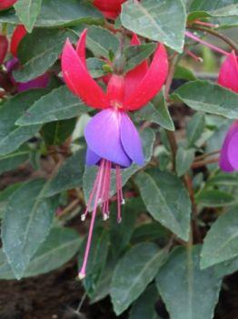 Fuksja zwisająca (Fuchsia pendula)