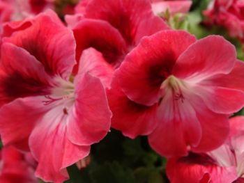 Pelargonia angielska - rabatowa pełna (Pelargonium grandiflorum)