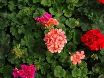 Pelargonia rabatowa (Pelargonium zonale)