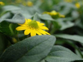 Sanwitalia rozesłana (Sanvitalia procumbens)