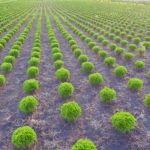 Rośliny iglaste