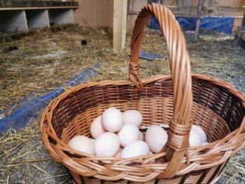 Jajka kacze