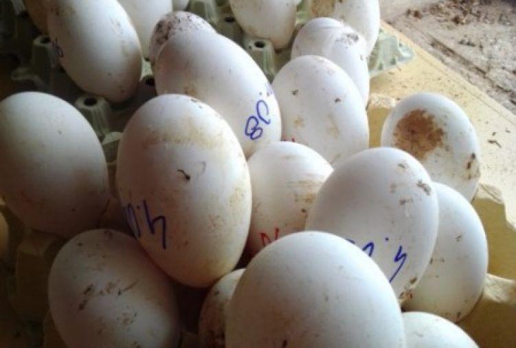 Jaja lęgowe gęsie